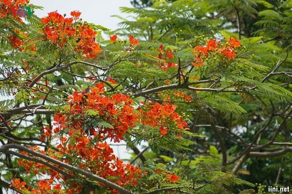 phượng nở đỏ rợp dưới nắng mùa hè