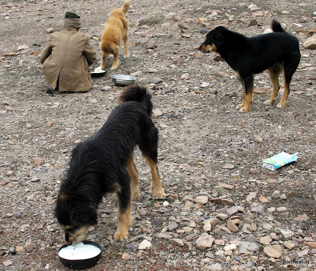 Dogs eating rice and chaach