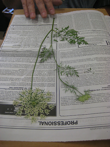 Queen Ann's lace presses beautifully!