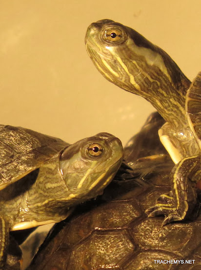 mes tortues (BK) - Page 12 IMG_4063