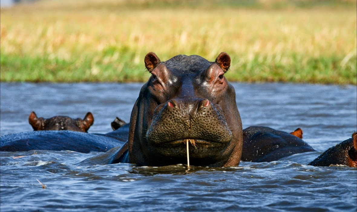 defiant look of a hippo