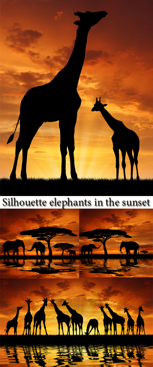 Stock Photo: Silhouette elephants in the sunset
