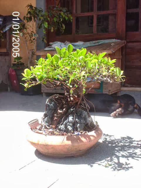 Ficus Microcarpa do Roberto Teixeira... PICT2382