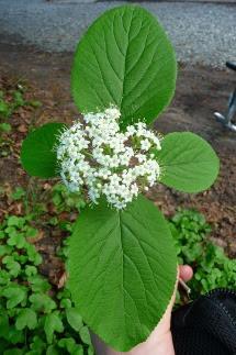Kalina hordowina kwiatostan Viburnum lantana