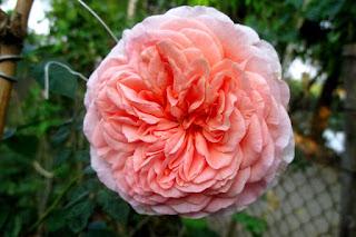 Hoa hồng ngoại Abraham Darby