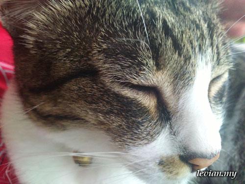 Cat (SE Vivaz)