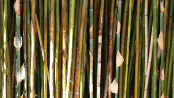 Bamboo 00