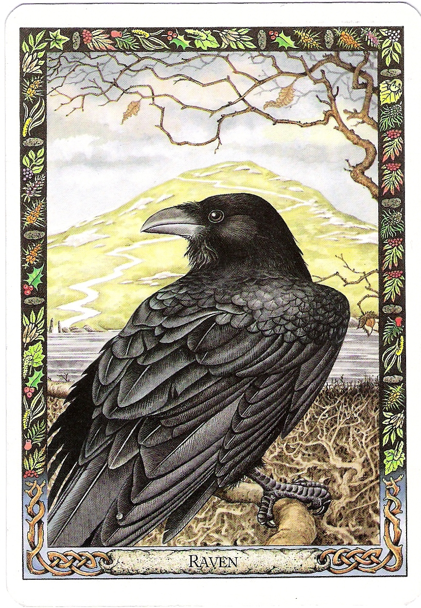 On the bright side the ravens visit the author talks about the druid animals tarot deck having the loveliest card for raven and the authors animal guides buycottarizona