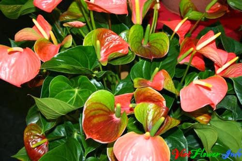 hoa hồng môn màu cam
