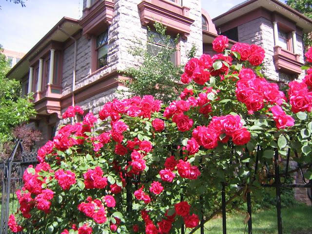 Một hàng rào tươi thắm nhờ những bông hoa hồng leo