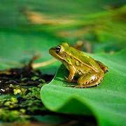 Сон жаба