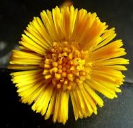Podbiał pospolity kwiat Tussilago farfara flos