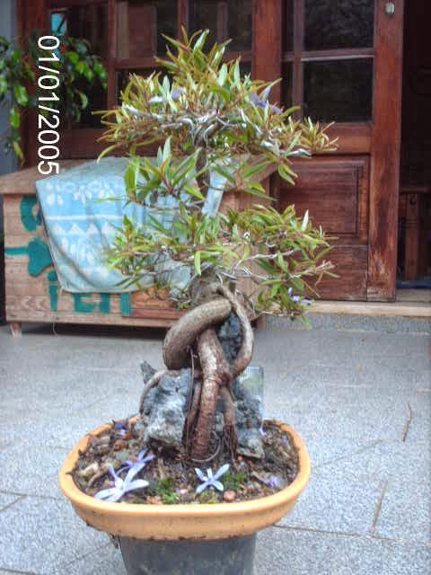Ficus Nerifolia, Uma raiz de 3 anos... - Página 2 PICT2435