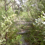 The bushtrack to Int. of Bundeena Drive and Mt Bass Trail (35447)