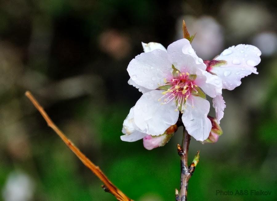 Цветущий миндаль, Парк Канада, Израиль