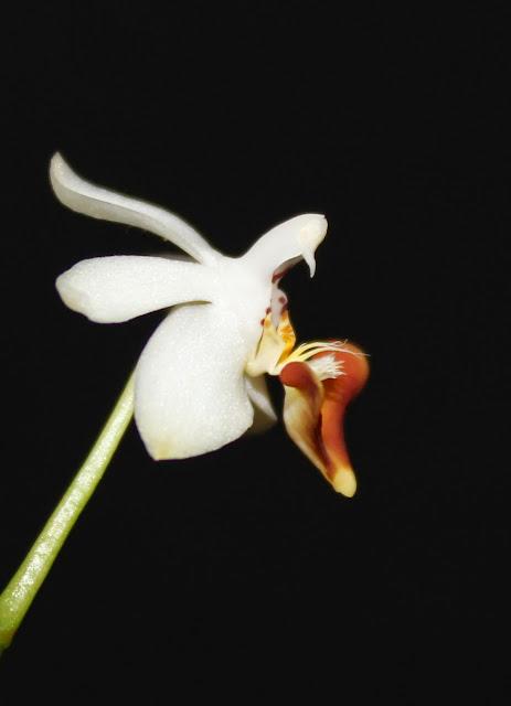 Phalaenopsis Sacha IMG_0655