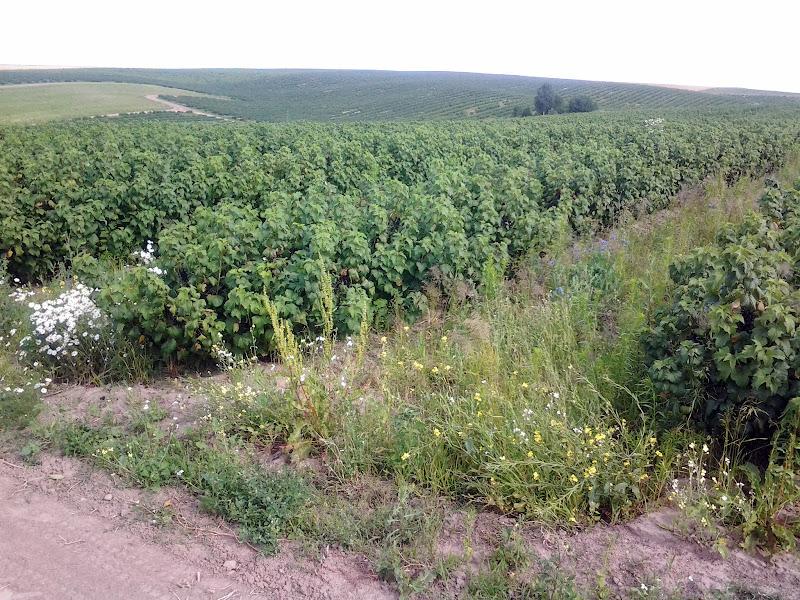 поле Смородина