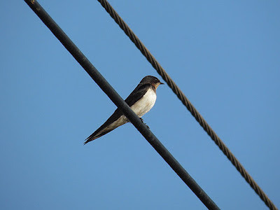 06-Nov-2011 Barn Swallow  Pic: SK Srinivas