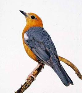 Sangkar Kicau: Cara Ternak Burung Anis Merah