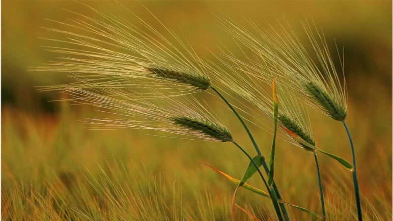 Bộ ảnh hoa cỏ may thật đẹp