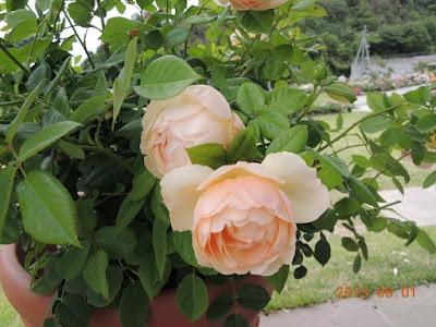 Nếu ở những nơi có diện tích trồng hẹp, có thể trồng  Wollerton Old Hall Rose trong các chậu và cắt tỉa thấp xuống để hạn chế cây phát triển chiều cao của các nhánh hồng.