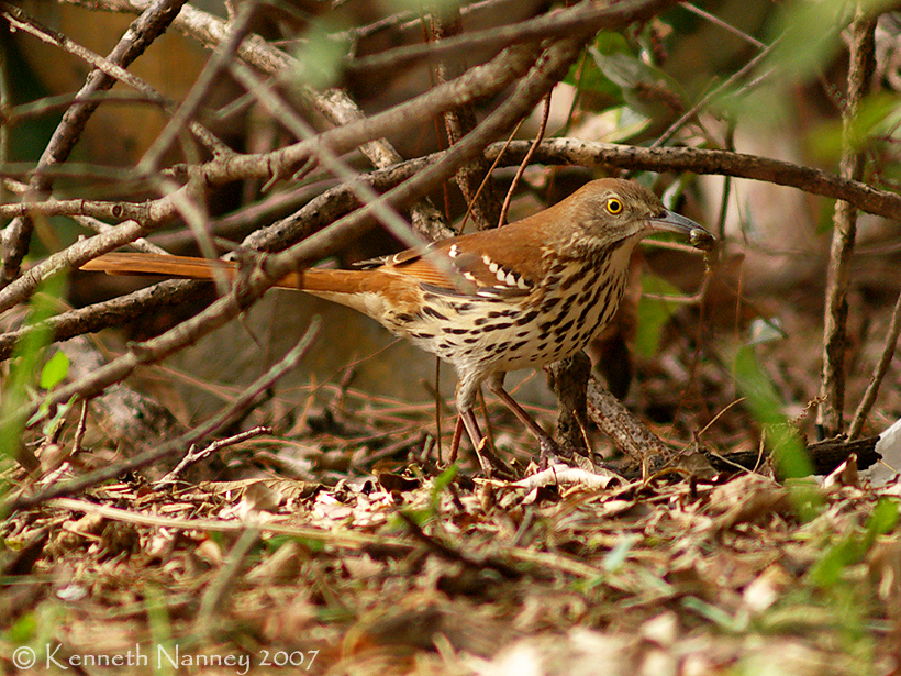 Brown Thrasher - North-Central Texas Birds