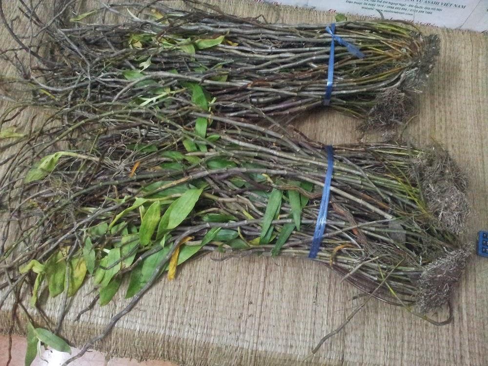 Hoàng thảo hương vani cũng là một loại phong lan đáng để sưu tầm