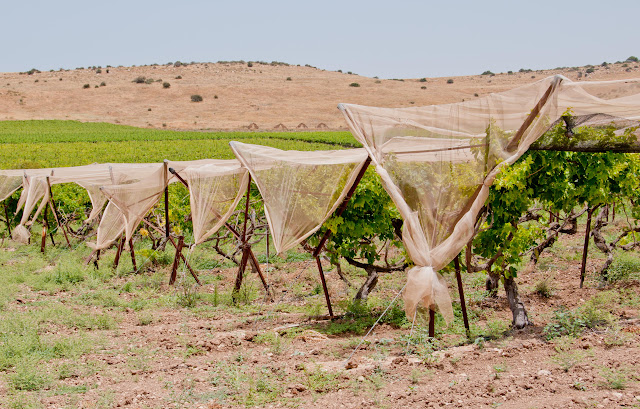 vineyards in Israel, Lachich