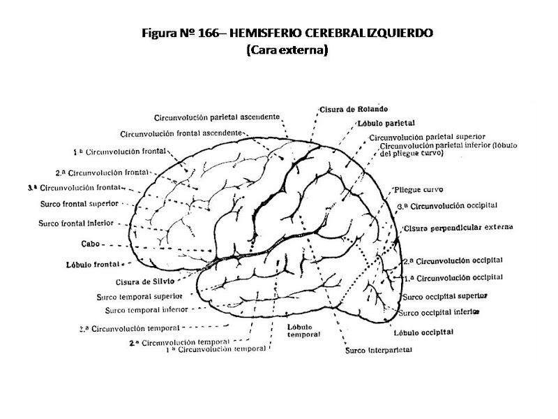 Bonito La Anatomía Del Cerebro Para Los Niños Patrón - Anatomía de ...