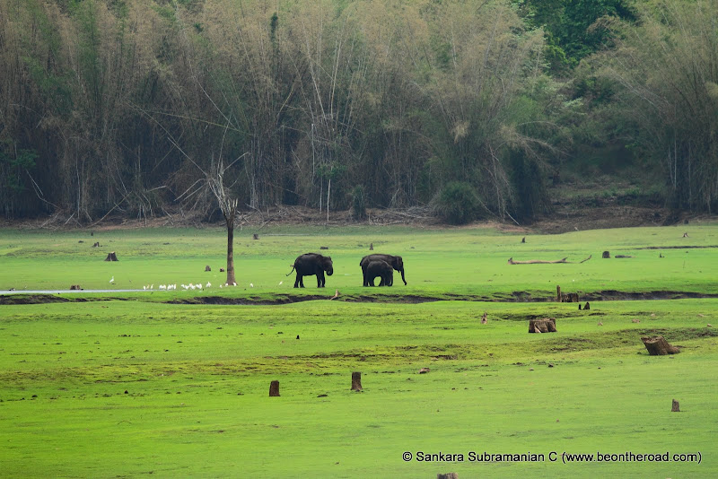 A small elephant family enjoy the lush green grass of Kabini