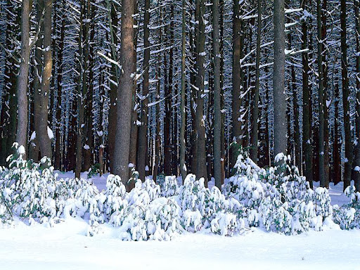 Eastern White Pine Trees, Pocono Mountains, Pennsylvania.jpg