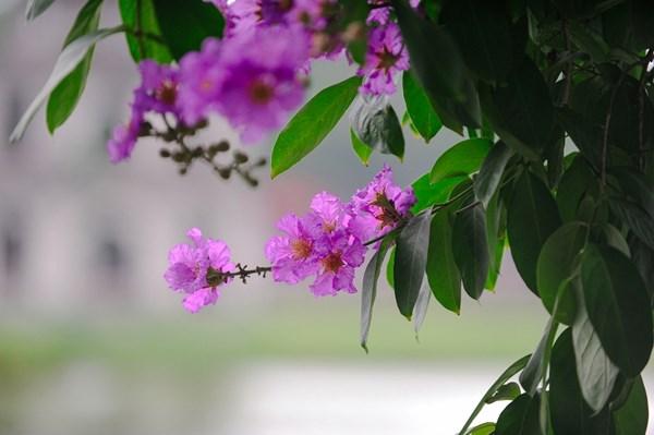 thơ 5 chữ viết về mùa Hạ - hoa bằng lăng tím