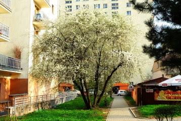 Śliwa wiśniowa, ałycza Prunus cerasifera, Cherry plum