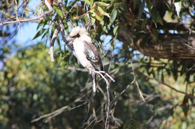 Kookaburra - Sydney Harbour Walk
