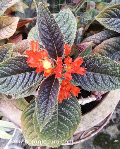 Chrysothemis pulchella, Sunset Bells, Black Flamingo, Copper Leaf