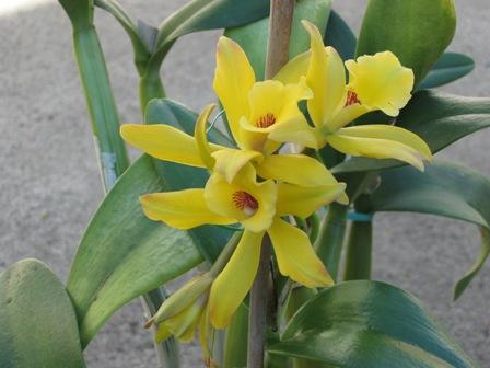 Las Plantas y sus Propiedades Medicinales vainilla o flor negra