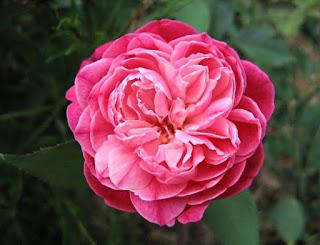 Màu sắc của hoa hồng Louis Philippe rose