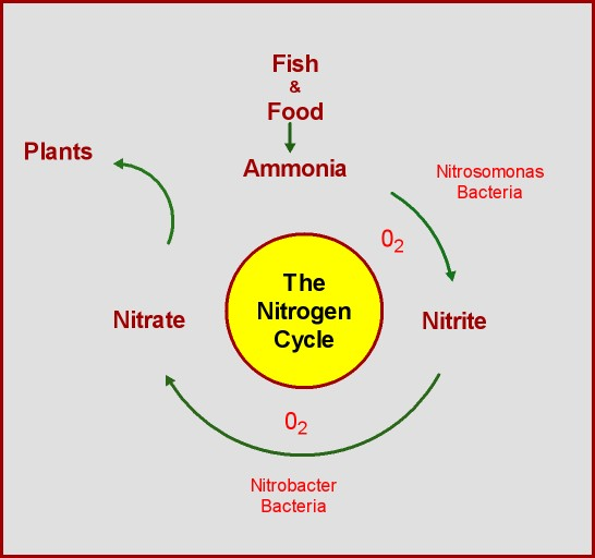Aquaponic gardening aquaponic gardening nitrogen cycle explained this graph along with ginas explanation should help all us newbie aquaponic people get a grasp on the nitrogen cycle and get us on our way to growing ccuart Gallery