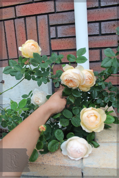 Những cánh hoa hồng leo Wollerton Old Hall Rose màu vàng hột gà cuộn vào tâm dạng hình trứng rất dễ thương.