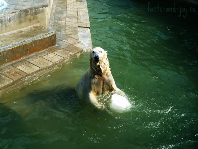 белые медведи новосибирского зоопарка