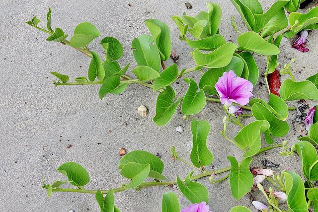 Tìm kiếm ảnh hoa muống biển