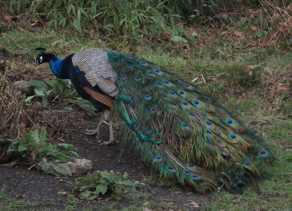 one of holland park s peacocks