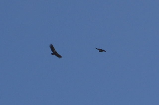 two California Condors