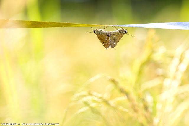 オオチャバネセセリの交尾