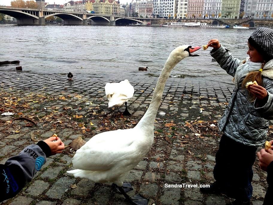 Кормление белых лебедей