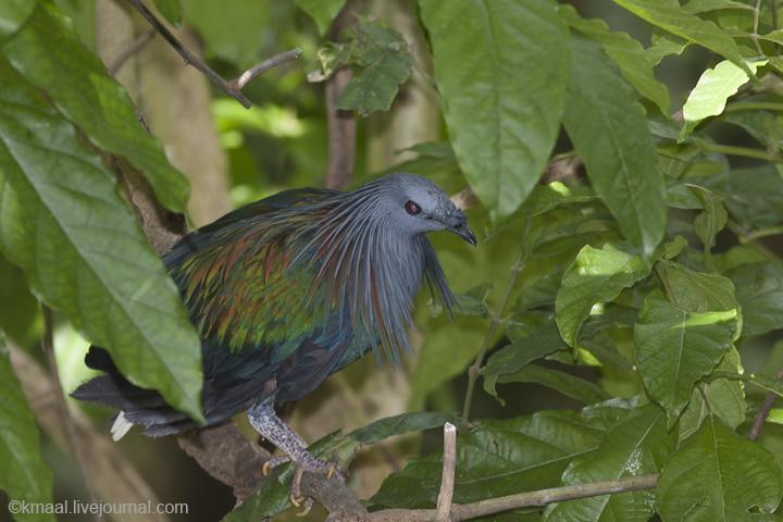 Khao Kheow Open Zoo: Nicobar Pigeon in the aviary