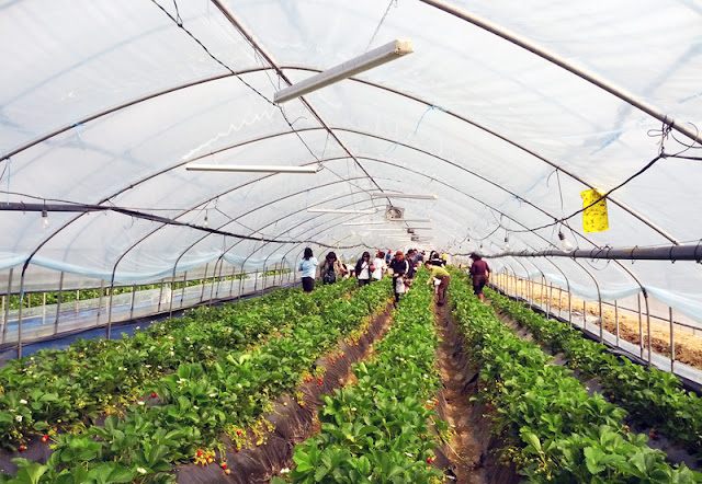Strawberry picking season at the farm