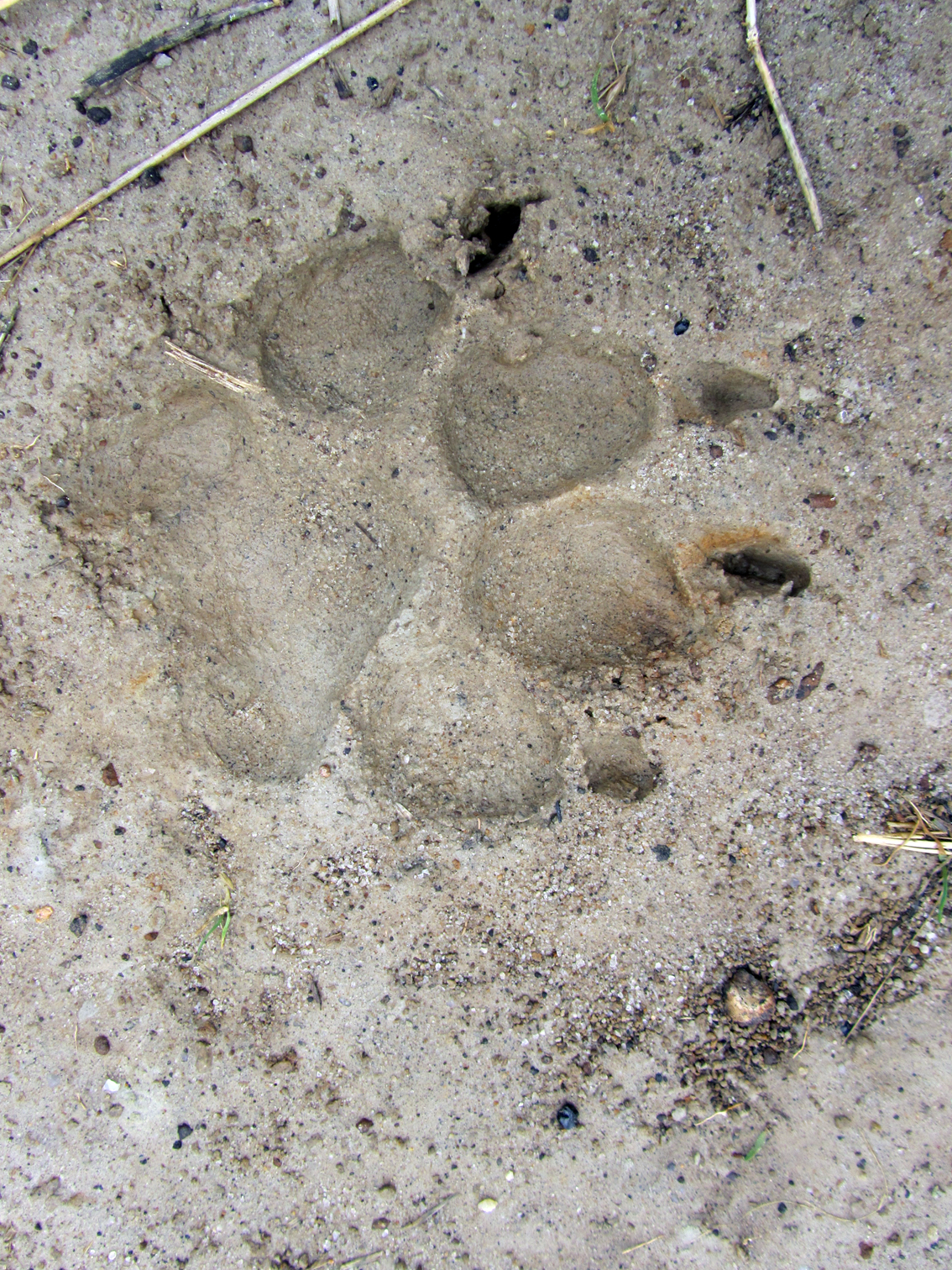 Displaying 12> Images For - Cougar Tracks...