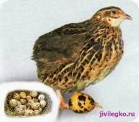 Какая польза от перепелиных яиц