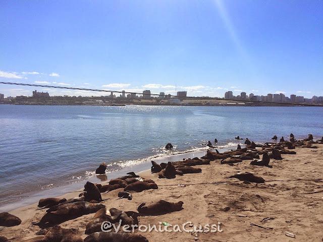 lobos marinos, Mar del Plata